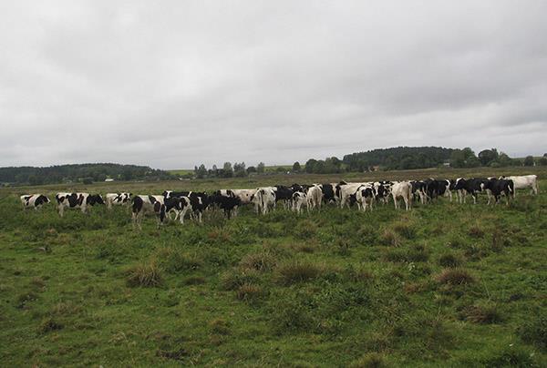 Такие бычки размером почти с корову выращиваются на природе.