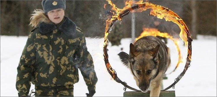 вожатый-для-собаки