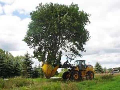 При строительстве объектов, может понадобиться пересадка деревьев только по разрешению